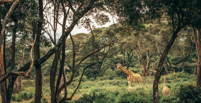 Giraffes near Nairobi